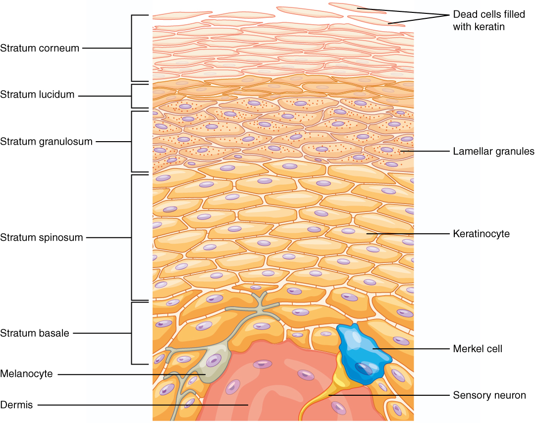 Visual of the epidermis